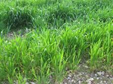 green wheat 23-3-16