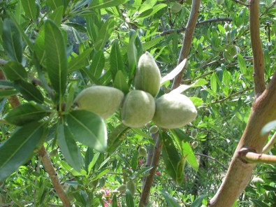 almonds-on-the-tree