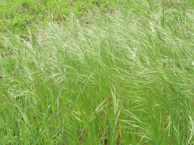 wild-grasses3