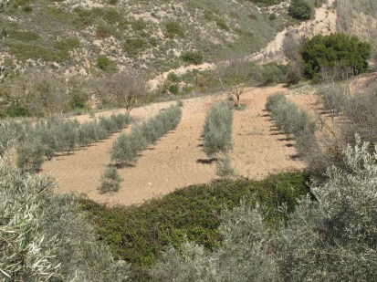 olive-grove-from-across-the-river1