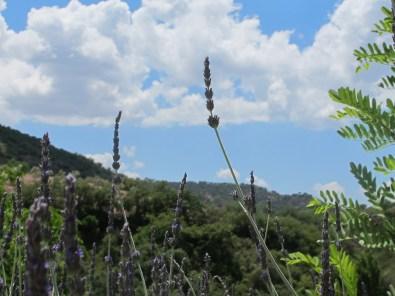 lavender & acacia