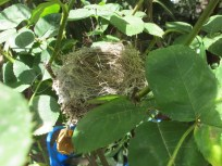 nest in the rose bush1