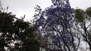 The mighty Jacaronda tree, Tanzania (2009-10)