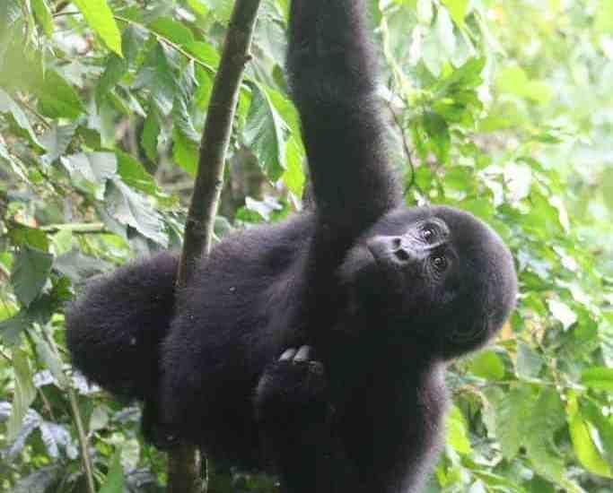 Gorilla baby in Bwindi National Park, Uganda (2012-05)
