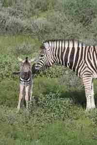 Zebra mama and baby in Etosha National Park on day 3, Namibia (2012-02)