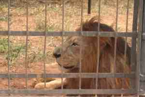 Lion behind bars in Mvog Betsi zoo, Yaounde, Cameroon (2012-01)