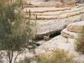 Ibex in Arugot Valley, Ein Gedi Nature Reserve, Israel (2017-01-04)