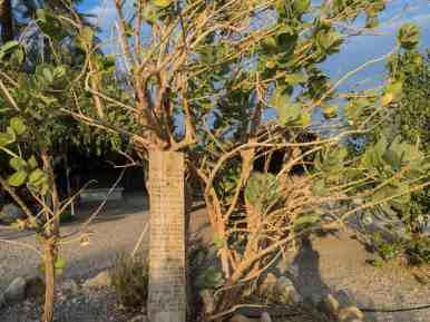 Sodom Apple at the Ancient Synagogue, Ein Gedi Nature Reserve, Israel (2017-01-04)