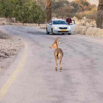 Ibex at Ein Gedi Nature Reserve, Israel (2017-01-04)