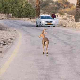 Ibex at Ein Gedi Nature Reserve, Israel (2017-01-04)