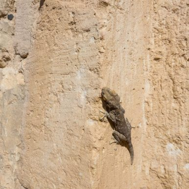 Gecko on the walls, Avdat, Israel (2017-02-09)