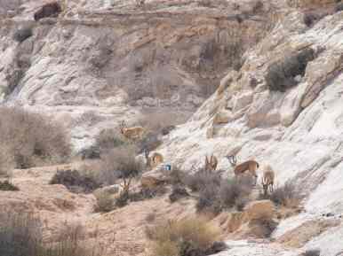 Ibex in Wadi Akev, Israel (2017-02-09)