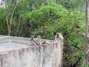 Monkeys on Phnom Sampov, Battambang, Cambodia (2017-04)
