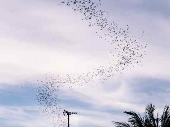 Murmuration of bats at Phnom Sampov, Battambang, Cambodia (2017-04)