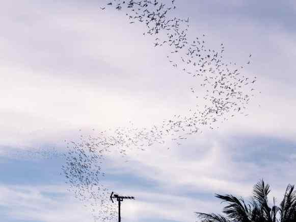 Murmuration of bats at Phnom Sampov, Battambang, Cambodia (2017-04)