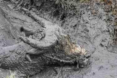 Water buffallo in mud