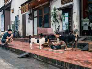 Lady feeding dogs after the Buddhist Alms Giving, Luang Prabang, Laos (2017-08)