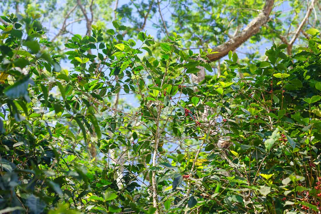Ripe coffee beans in Letefoho, East Timor