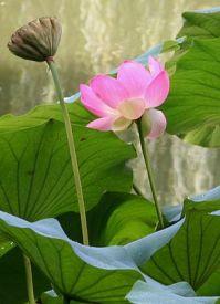 Japanese Garden Lotusland via wikipedia
