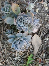Pretty blue gray 'Cassyz Winter' Echeveria