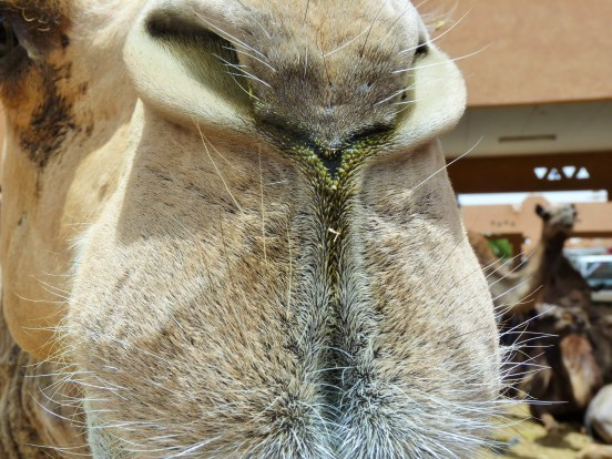 Camel Souk Al Ain