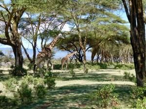 Giraffes Crescent Island