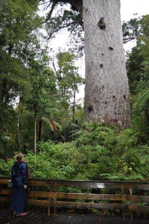 Eva in awe at Kauri tree