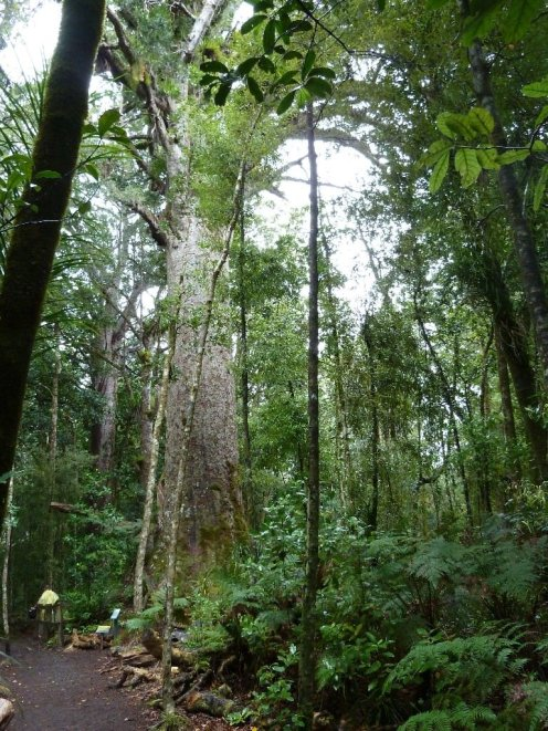 Kauri trees are awesome