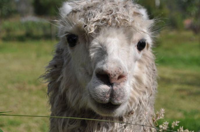 Dave the Alpaca
