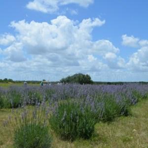Imagine Lavender Farm and Fairy Garden