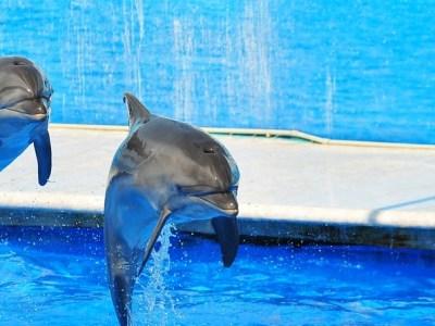 GOLPE REGULADO A LA INDUSTRIA DE LOS DELFINARIOS: Aprueba Congreso federal dictamen para prohibir espectáculos con mamíferos marinos