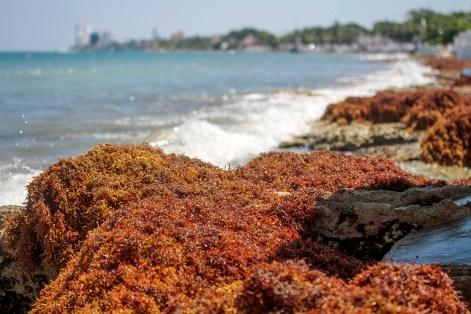 Recale de sargazo en Cozumel