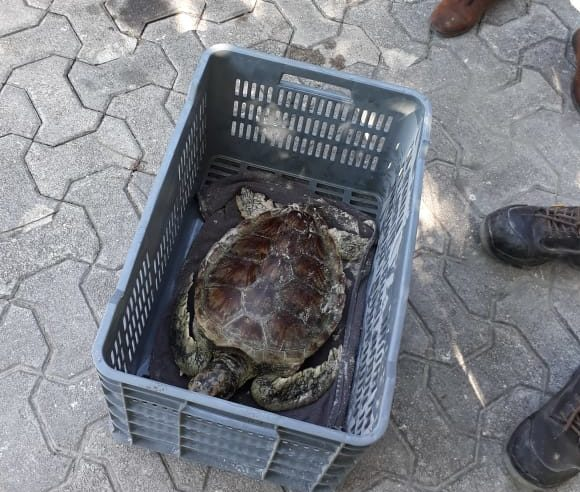 tortuga blanca llega a costas de Playa del Carmen