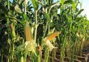 Menos milho na primeira safra