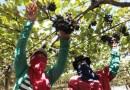 Mais de 30% das frutas do país são produzidas na Bahia; Juazeiro é líder na exportação