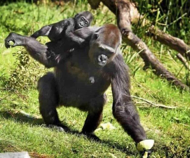 Detectan brote de covid-19 entre gorilas de zoológico en San Diego
