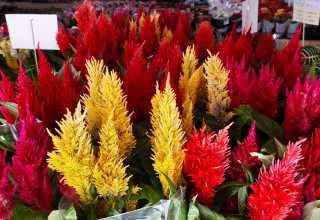 XI Festival das Flores de Holambra ficará até terça-feira no Cariri