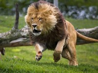 Acuados, cristãos perseguidos oram e Deus envia leões para afugentar extremistas, diz missionário