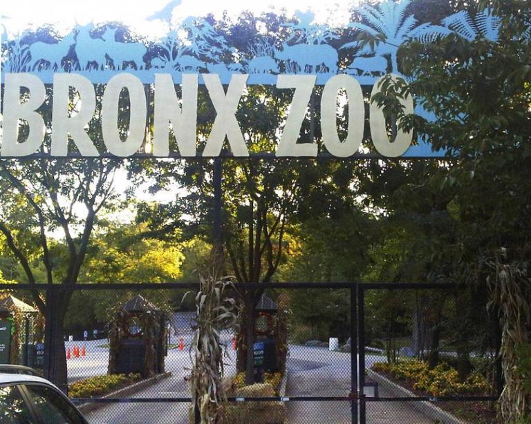 En zoológico de Nueva York, tigre da positivo a COVID-19 1