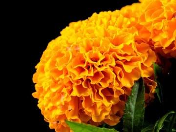 Listo 1 millón 200 mil flores de cempasúchil para este Día de Muertos: Sedema 3
