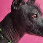 Xoloitzcuintle, la mascota oficial de la CDMX 4