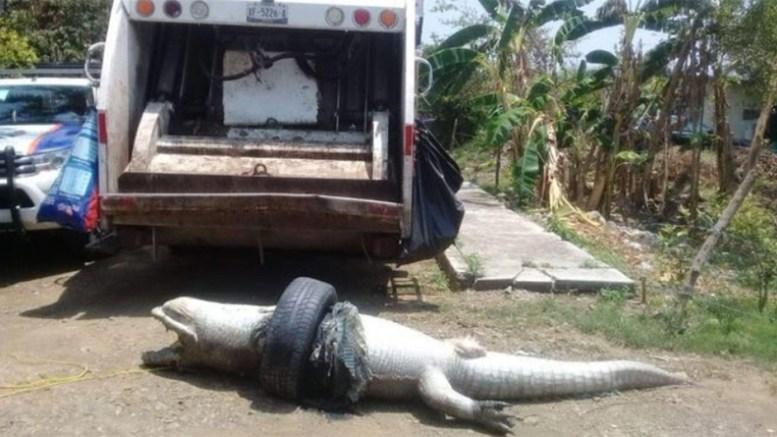 cocodrilo-muerte-caucho-mexico