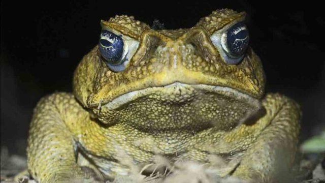 Plaga de ranas gigantes y venenosas