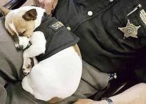 867519228d1d5325856fc61d710ded0e - Midge, la perro policia más pequeña del mundo
