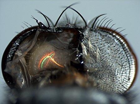 5c524010f403cd1cd96d959f003473c7 - El cerebro de las moscas es más veloz que los ordenadores modernos