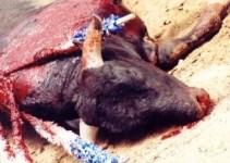 29666f18c8ad683bd36c77f4cd10ec88 - La crueldad y la tortura animal, marca de España