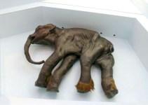 ac3c82d798b804f58491d821c475780a - Científicos rusos quieren clonar un mamut congelado hace diez mil años