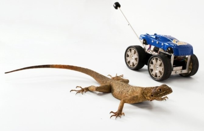 El lagarto y el robot. (Foto: Robert Full lab, UC Berkeley)