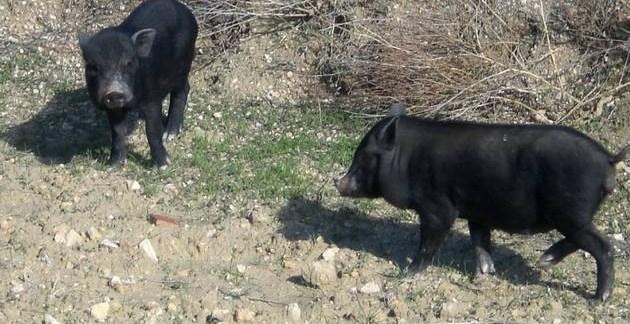 4cd424ae582c0816d2a216de8e1edde7 - La nueva fauna salvaje de Alicante: Cerdos Vietnamitas