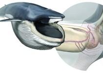 34291c6bdf650fb782edbdca8ac54bea - Descubren el órgano sensorial que permite comer a las ballenas